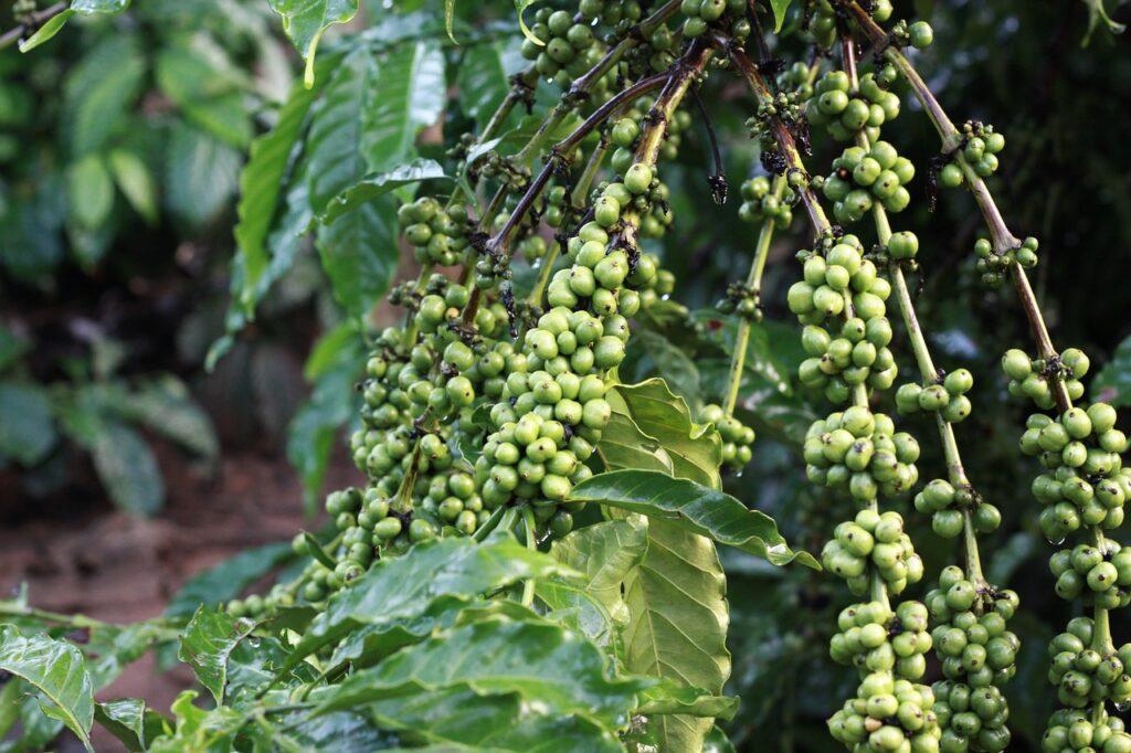 čo je to zelená káva?